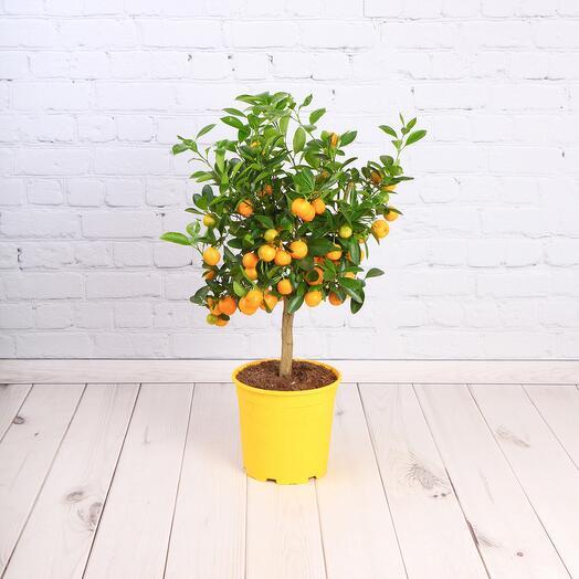 Цитрусовое дерево (Цитрофортунелла D - 21)