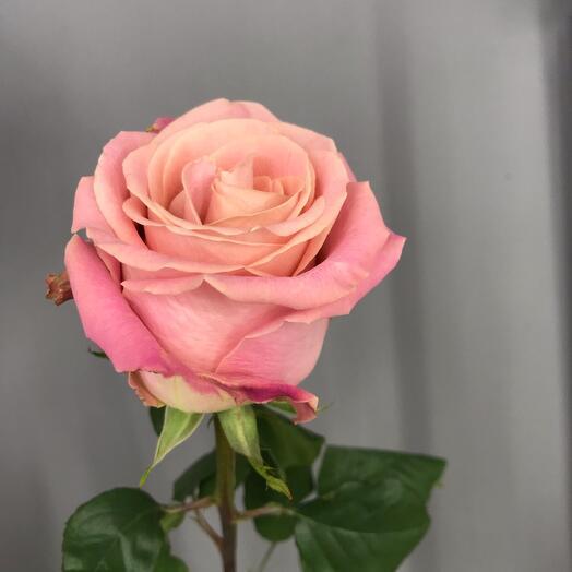 Роза сорта «Хермоза»