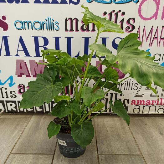 Комнатное растение филодендрон