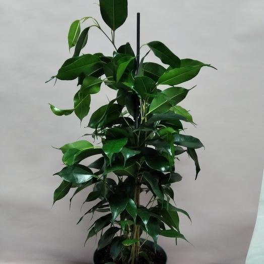 """Комнатное растение""""фикус Даниэль"""""""