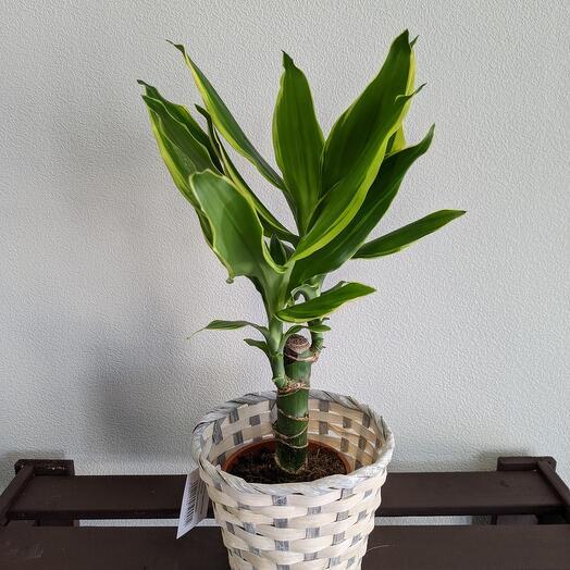 """Комнатное растение""""Драцена """""""