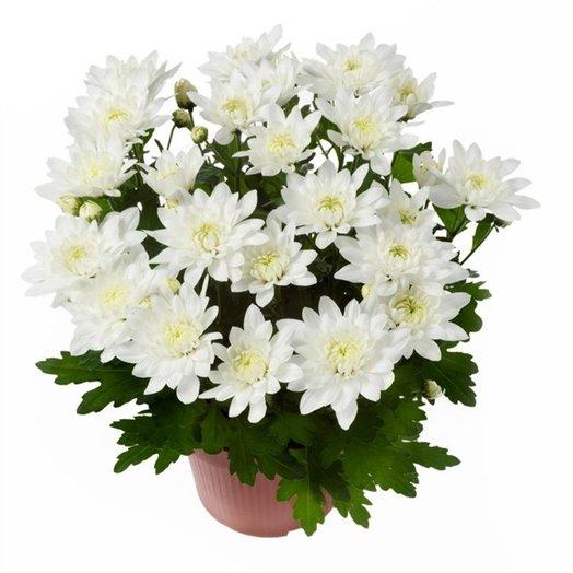 Хризантема+грунт+кашпо: букеты цветов на заказ Flowwow
