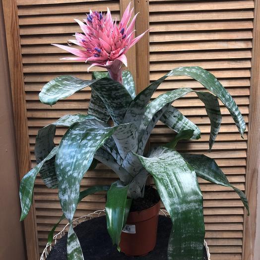 Эхмея: букеты цветов на заказ Flowwow