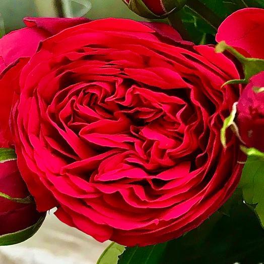 Роза пионовидная «Red Piano»