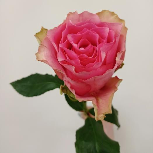 Розовая сортовая роза 60 см