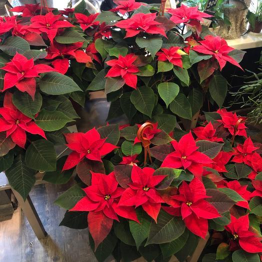 Комнатное растение пуансетия великолепная или рождественская звезда