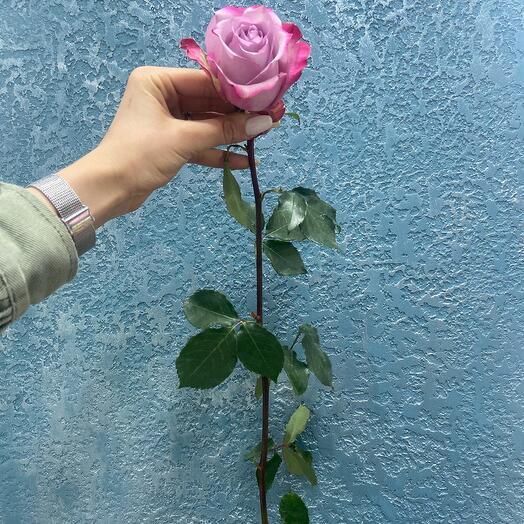 Роза Эквадор акварельная