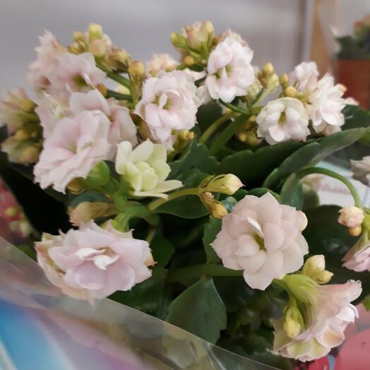 Комнатное растение Каланхое