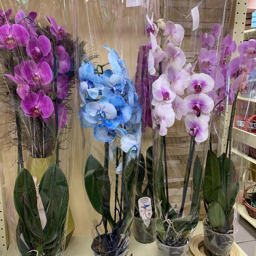 Орхидея фалеонопсис в ассортименте: букеты цветов на заказ Flowwow