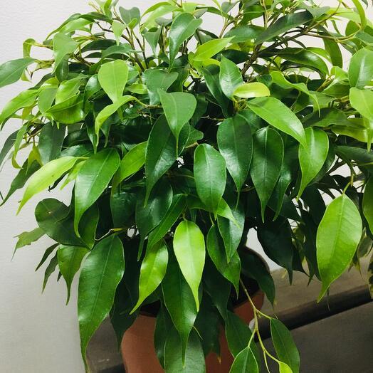 Комнатное растение Фикус Бенджамина 30 см