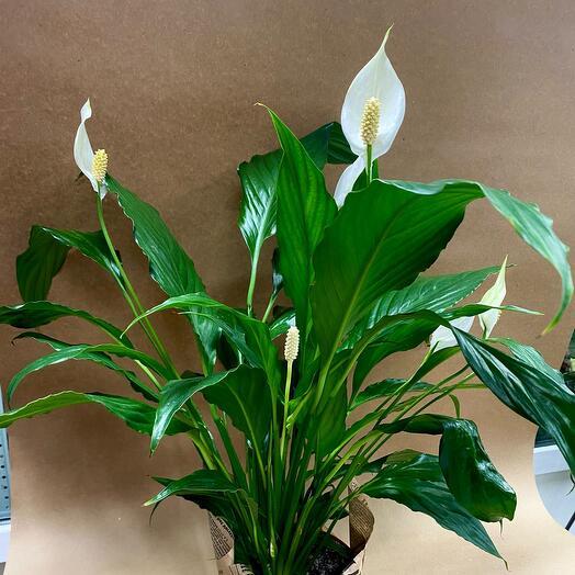 Комнатное растение «Спатифиллум»