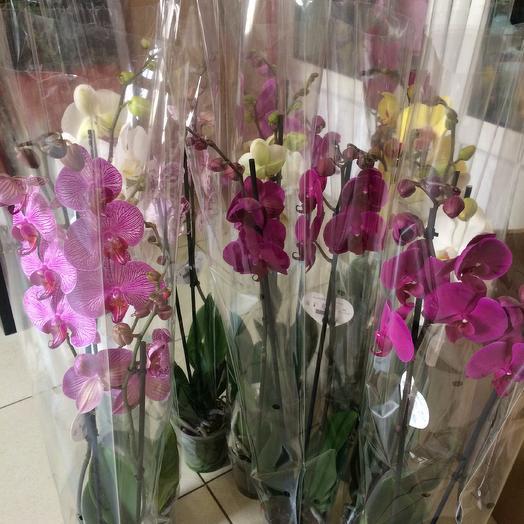 Орхидея фаленопсис 1 ств