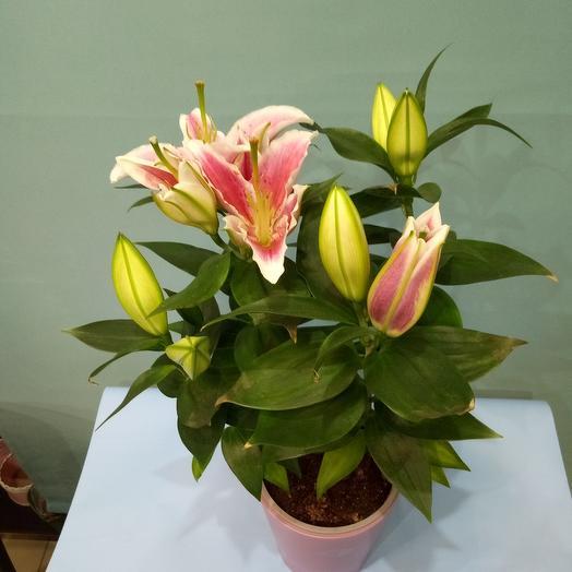 Комнатное растение Лилия