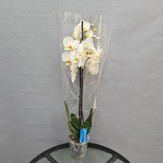 Орхидея 2-х ствольная