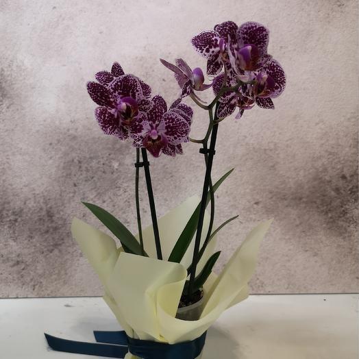 Тигровый фаленопсис: букеты цветов на заказ Flowwow