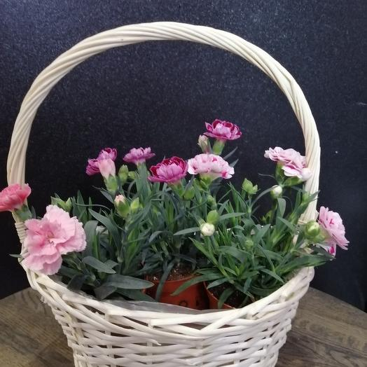 Basket of potted spray carnation: flowers to order Flowwow