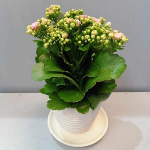 Розовый каланхоэ в керамическом горшке: букеты цветов на заказ Flowwow