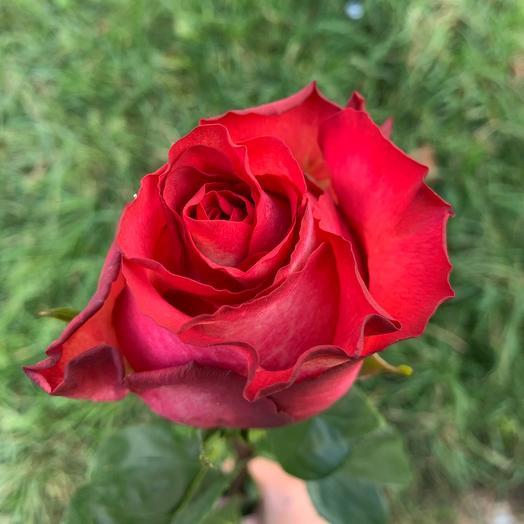 Розы игуазу