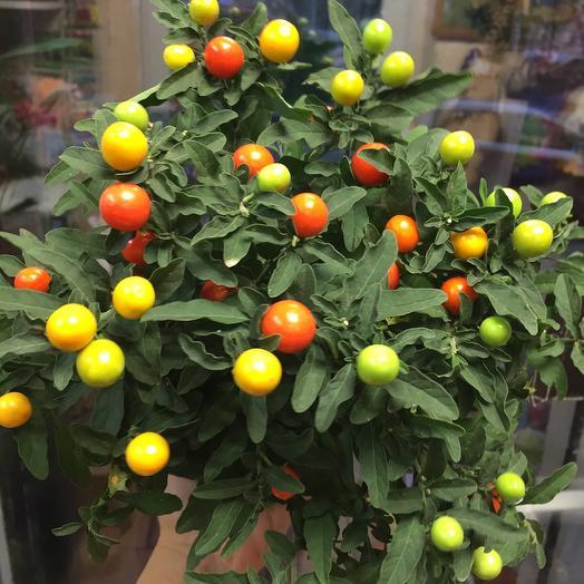 Комнатное растение Соланум