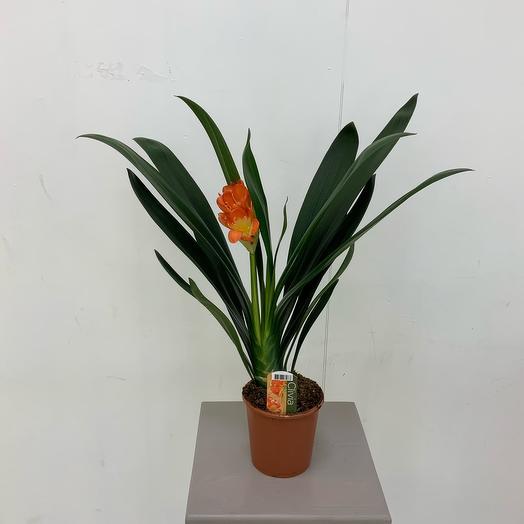 Комнатное растение Кливия