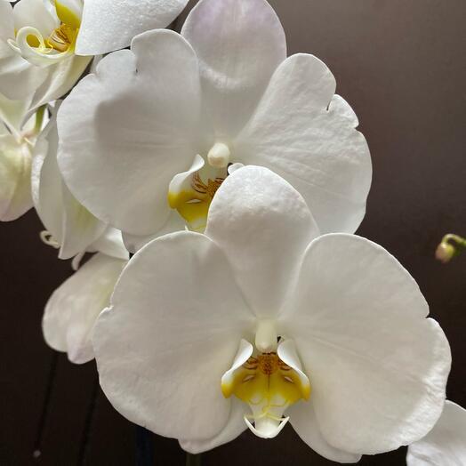 Орхидея фаленопсис отцвела