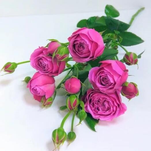 Flowers Lovers - кустовая пионовидная Роза 50см