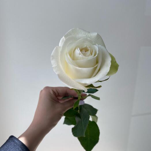 Роза Эквадор «Альба»