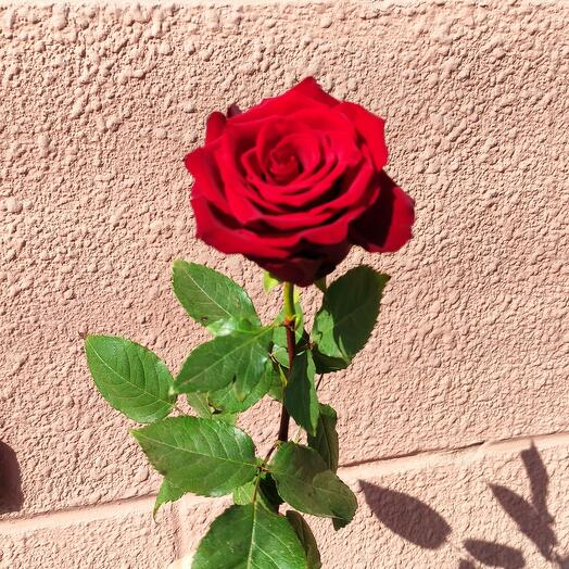 Роза эксплорер 70 см Premium