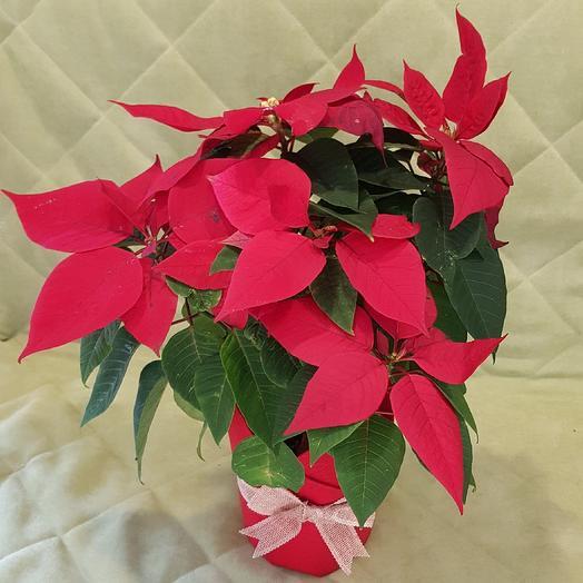 Пуансеттия: букеты цветов на заказ Flowwow