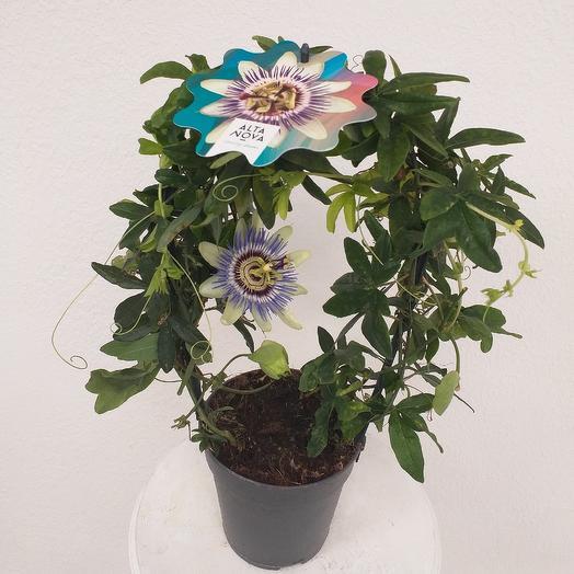 В.Пассифлора: букеты цветов на заказ Flowwow