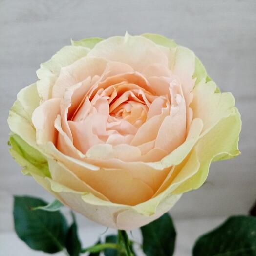 Роза Гравити (Кения)