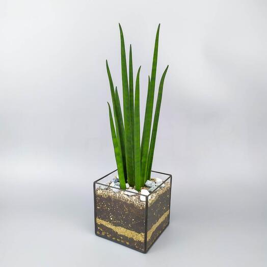 Сансевиерия цилиндрика в кубе