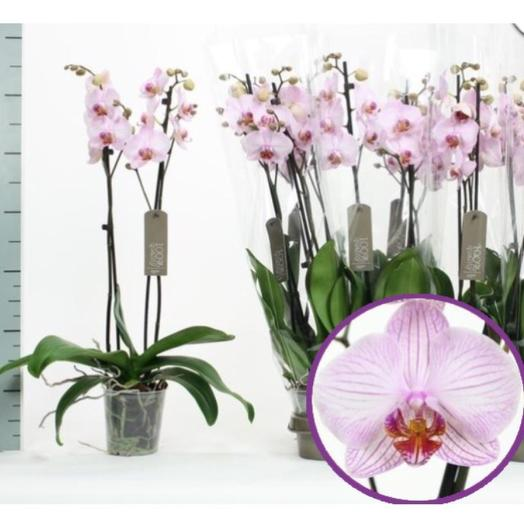 Орхидея фаленопсис розовая: букеты цветов на заказ Flowwow