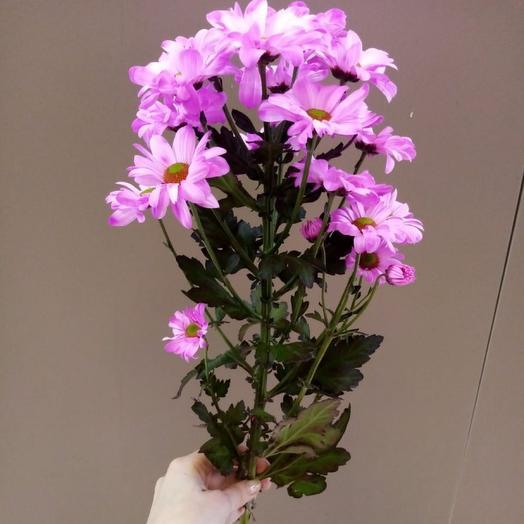 Хризантема кустовая(окрашенная)