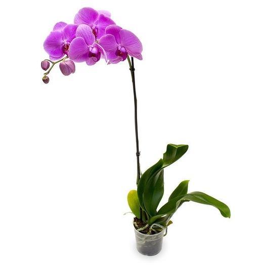 Орхидея Фаленопсис 1-ствол