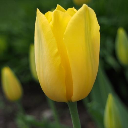 Тюльпан желтый поштучно 💛