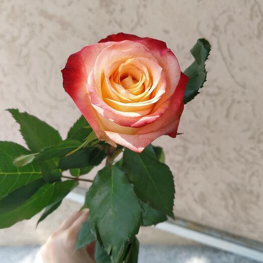 Роза Эвадор