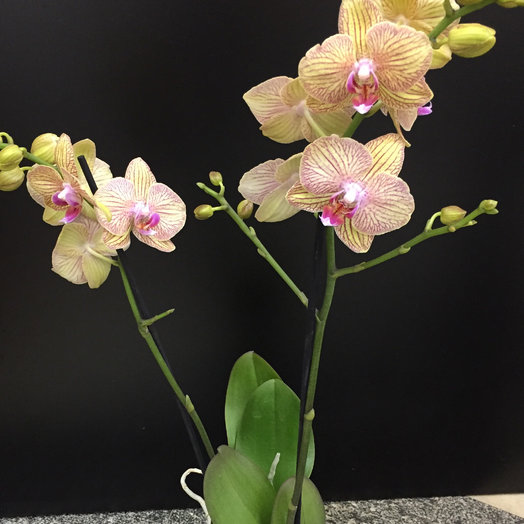 Орхидея фаленопсис : букеты цветов на заказ Flowwow