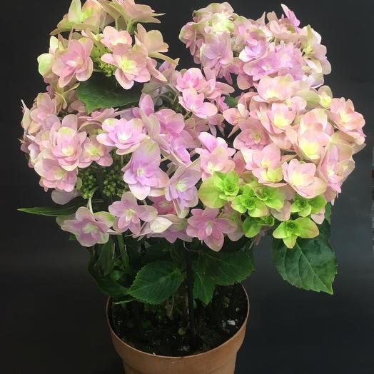 Гортензия в горшке: букеты цветов на заказ Flowwow