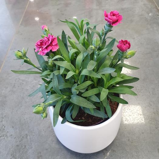 Гвоздика в декоративном кашпо: букеты цветов на заказ Flowwow