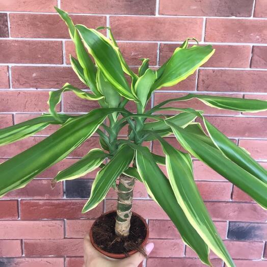 Комнатное растение драцена Герде