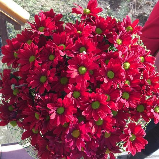 Бордовые кустовые хризантемы