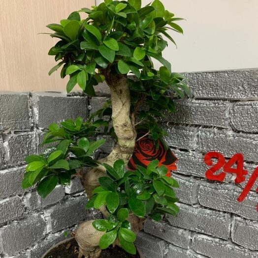 Комнатное растение фикус гинсенг