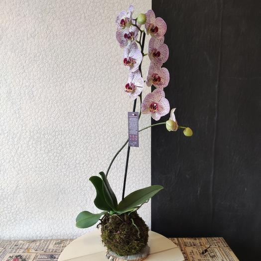 Кокедама PHALAENOPSIS: букеты цветов на заказ Flowwow