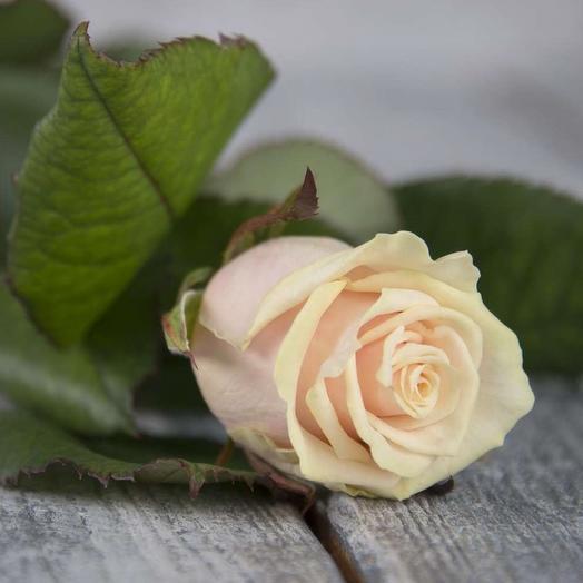 Роза Россия Талея