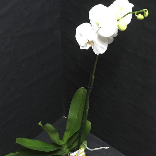Фаленопсис(орхидея)