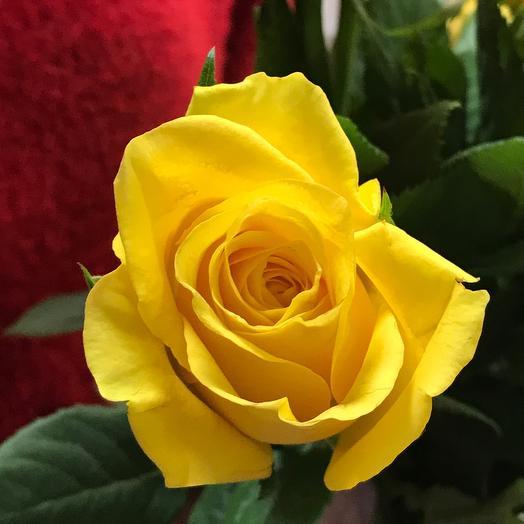 Роза Кения 38см