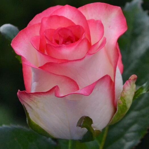 Роза Rose jumilia 1vetka (qty any)