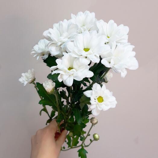Хризантема кустовая bacardi