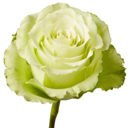 Эквадорская Роза Lemonade 60см